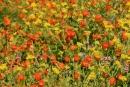 Fiore in Sicilia