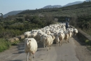 Pecore siciliane, val di sosio