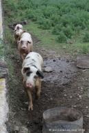 Cochons de Pantelleria, maile